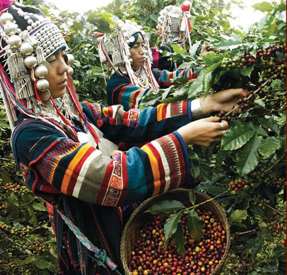 Akha-farmers-picking-coffee-cherries